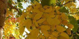 Hoa muồng Hoàng YếnBangkok